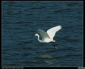 白鷺鷥:P1110909_nEO_IMG.jpg