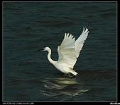 白鷺鷥:P1110943_nEO_IMG.jpg