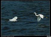 白鷺鷥:P1110911_nEO_IMG.jpg