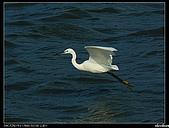 白鷺鷥:P1110912_nEO_IMG.jpg