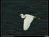 白鷺鷥:P1110957_nEO_IMG.jpg