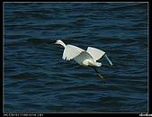 白鷺鷥:P1110914_nEO_IMG.jpg
