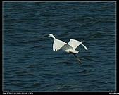 白鷺鷥:P1110915_nEO_IMG.jpg