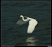 白鷺鷥:P1110982_nEO_IMG.jpg
