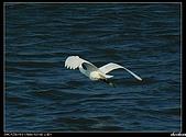 白鷺鷥:P1110916_nEO_IMG.jpg