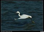 白鷺鷥:P1110917_nEO_IMG.jpg
