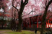 日本京都平安神宮_粉紅垂櫻:_MG_2134_b.jpg