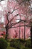 日本京都平安神宮_粉紅垂櫻:_MG_2135_b.jpg