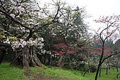 櫻花_98阿里山:_MG_0228_b.jpg