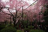 日本京都平安神宮_粉紅垂櫻:_MG_2138_b.jpg