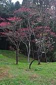櫻花_98阿里山:_MG_0233_b.jpg