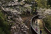 櫻花_98阿里山:_MG_0170_b.jpg