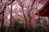 日本京都平安神宮_粉紅垂櫻:_MG_2127_b.jpg
