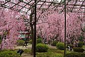 日本京都平安神宮_粉紅垂櫻:_MG_2128_b.jpg
