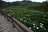 海芋_竹子湖:_MG_0713_b.jpg