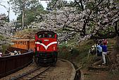 櫻花_98阿里山:_MG_0187_b.jpg