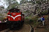 櫻花_98阿里山:_MG_0188_b.jpg