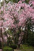日本京都平安神宮_粉紅垂櫻:_MG_2130_b.jpg