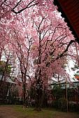日本京都平安神宮_粉紅垂櫻:_MG_2131_b.jpg