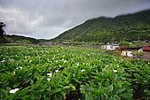 海芋_竹子湖:_MG_0728_1_b.jpg