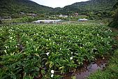 海芋_竹子湖:_MG_0730_b.jpg