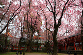 日本京都平安神宮_粉紅垂櫻:_MG_2133_b.jpg