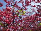 20130225_泰安櫻花_豐原廟東蚵仔煎鳳梨冰:20130223_泰安櫻花祭_011.jpg