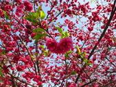 20130225_泰安櫻花_豐原廟東蚵仔煎鳳梨冰:20130223_泰安櫻花祭_013.jpg