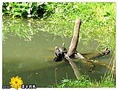 2010_菊宴臺北城:991130_02_2010士林官邸菊展_12生態園曬太陽的烏龜.jpg