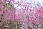 1060225_九族文化村_櫻花祭(雨天):9C_010.jpg
