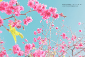 1051210_春櫻:PN_019_OK.jpg