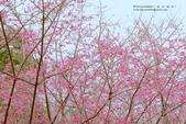 1060225_九族文化村_櫻花祭(雨天):9C_012.jpg