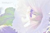 1060408_蜀葵花:SF_038.jpg
