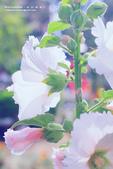 1060408_蜀葵花:SF_020.jpg