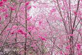 1060225_九族文化村_櫻花祭(雨天):9C_011.jpg