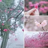 1060225_九族文化村_櫻花祭(雨天):相簿封面