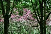 1060225_九族文化村_櫻花祭(雨天):9C_009.jpg