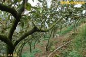 和平-摩天嶺-甜柿的故鄉(2011.09):和平-摩天嶺-甜柿的故鄉(201109) 05