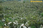 和平-摩天嶺-甜柿的故鄉(2011.09):和平-摩天嶺-甜柿的故鄉(201109) 15