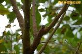 和平-摩天嶺-甜柿的故鄉(2011.09):和平-摩天嶺-甜柿的故鄉(201109) 02