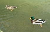 英國遊記本:Ducks