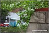 新竹市.東區.新竹市護城河 - 流蘇花區:[moon1230] 新竹市護城河 - 流蘇花區