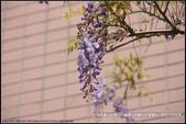 桃園縣.龍潭鄉.龍潭幼兒園紫藤花區:[moon1230] 龍潭幼兒園紫藤花區