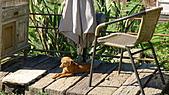 苗栗縣.三義鄉.漫步雲端森林廚房:[a71742985] 可愛的狗狗,顧著停車場的門口