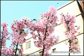 桃園市.中壢區.2018年中壢區永福社區賞櫻:[moon1230] 2018年中壢區永福社區賞櫻