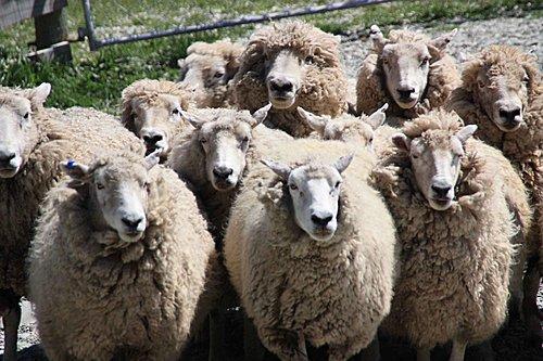 南地.沃爾特峰農場 Walter Peak High Country Farm:[sandywind0968] 沃爾特峰農場 Walter Peak High Country Farm
