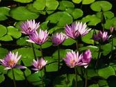 (這是一本待審核的相簿):[tsuiping0520] Water lilies.jpg