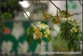 台北市.中正區.溫州公園前加羅林魚木:[moon1230]  溫州公園前加羅林魚木