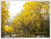 彰化縣.二水鄉.坑內坑森林步道 - 黃花風鈴木段:[k5637849] 坑內坑森林步道 - 黃花風鈴木段