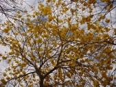 高雄市.鳳山區.鳳西運動公園-黃金風鈴木區:[snoopy7219] DSC00406.JPG
